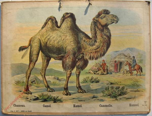 746 - Chameau, Camel, Kamel, Cammello, Kameel